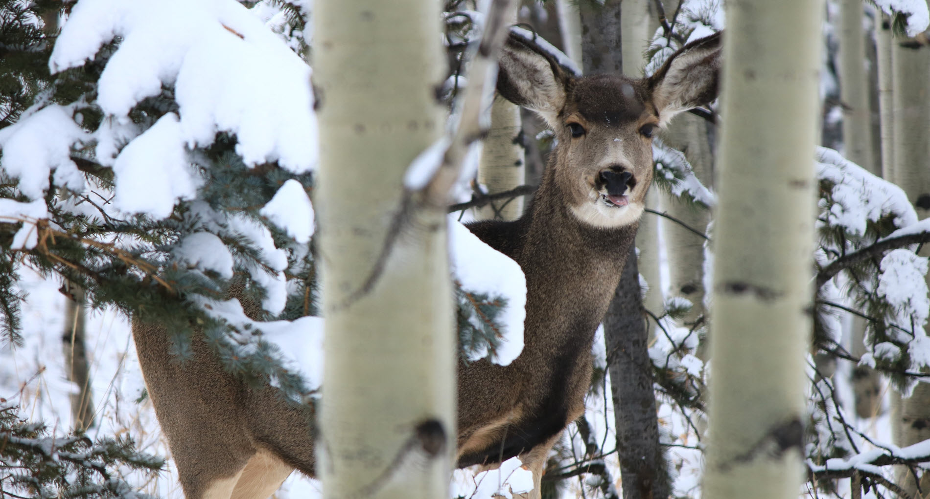 mule_deer.jpg